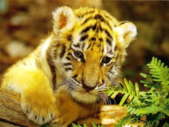 Tigron chou - Bebe tigre mignon ...