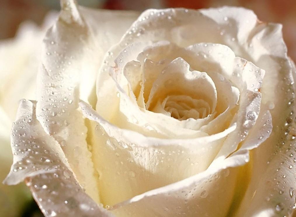 """reine des fleurs : la rose"""" - mélusine la fée"""